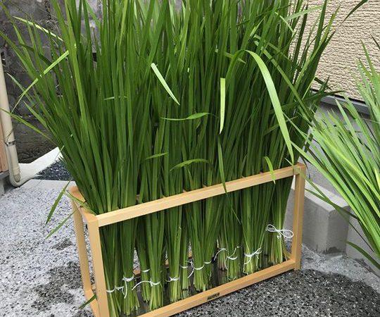 明日のお風呂は菖蒲湯です!朝からスタッフは菖蒲の刈り取り作業を行い、準備は万端です!とってもいい香りがします♪